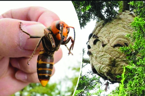 Protect Honey Bees:  Report sightings of the invasive Asian giant hornet
